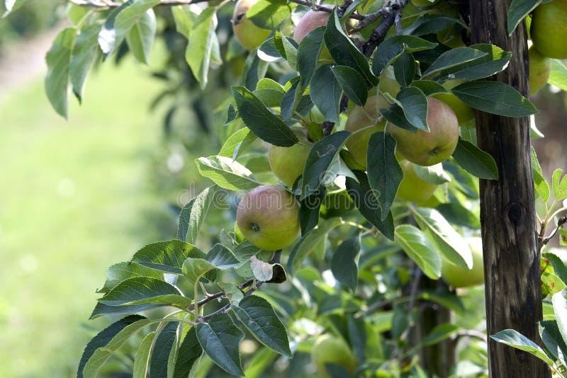 μήλα περισσότερο στοκ φωτογραφίες