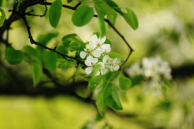 Μήλο ανθών πέρα από το υπόβαθρο φύσης, λουλούδια άνοιξη στοκ φωτογραφίες με δικαίωμα ελεύθερης χρήσης