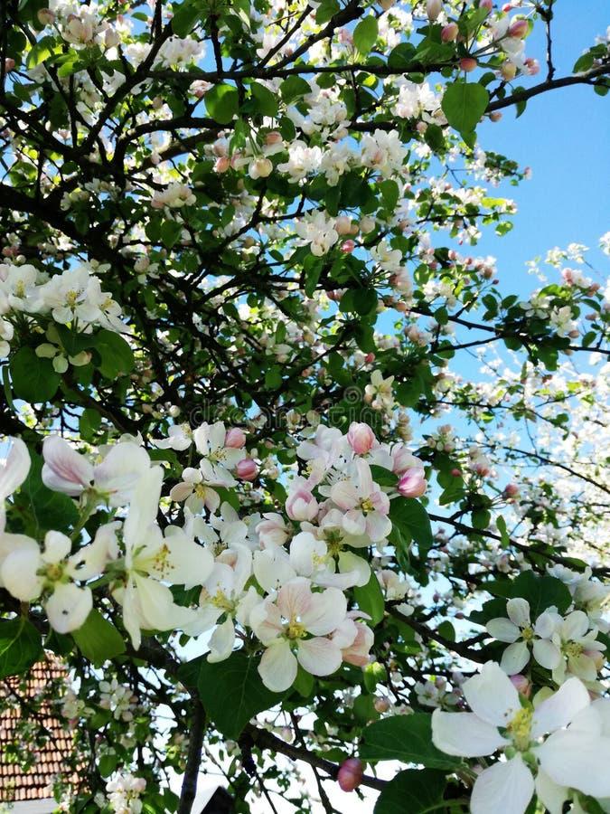 Μήλο δέντρων στοκ φωτογραφίες