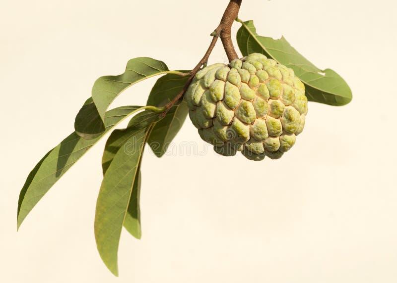 Μήλο κρέμας στοκ εικόνα
