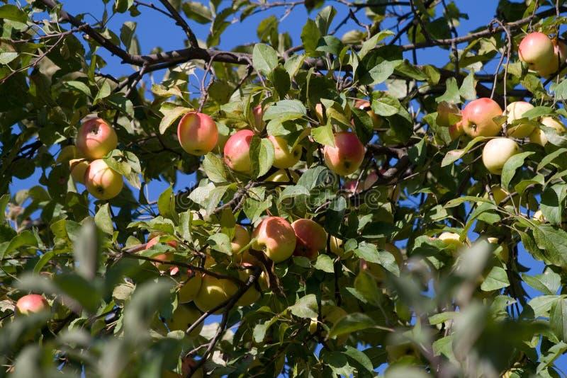 μήλο τρία στοκ εικόνα