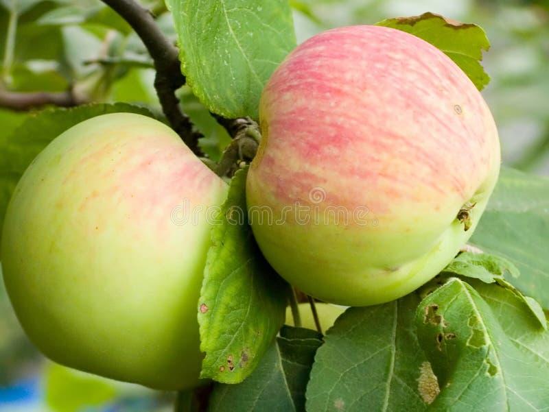 Download μήλο στοκ εικόνες. εικόνα από πρόσφατα, διατροφή, υγιής - 2225524