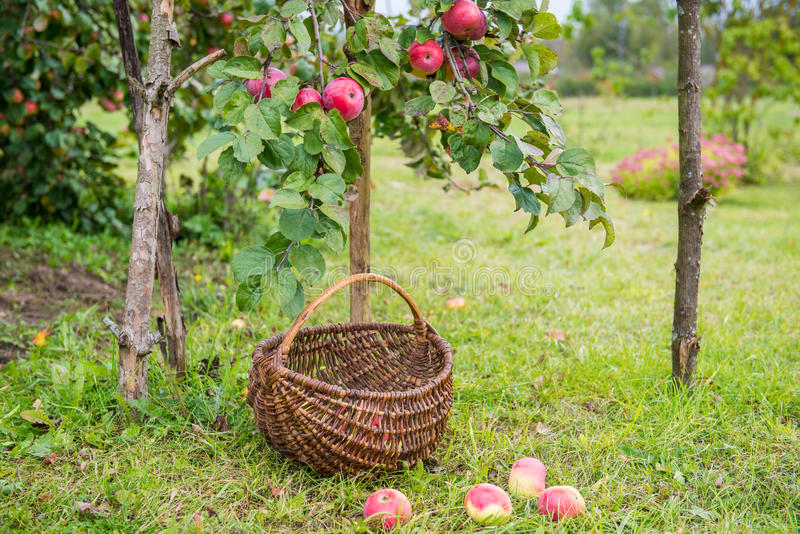 Μήλα επιλογής στοκ φωτογραφία με δικαίωμα ελεύθερης χρήσης
