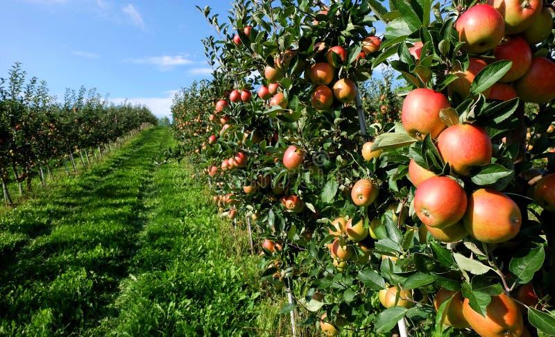 Μήλα σε ένα αγρόκτημα στοκ εικόνες