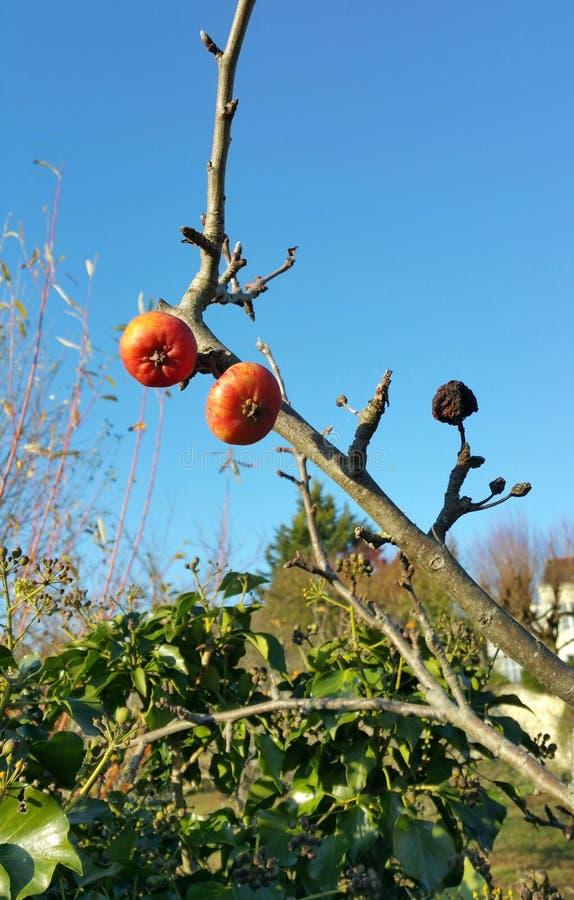 Μήλα το χειμώνα στοκ φωτογραφία