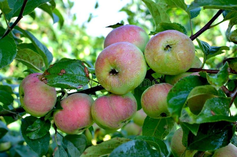 Μήλα φρούτων τα δέντρα μηλιάς Σιβηριανός στους κλάδους στοκ εικόνα