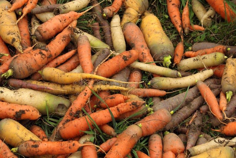 Μίγμα καρότων - κλασικό πορτοκάλι, κίτρινος, άσπρος και μαύρος στοκ φωτογραφία
