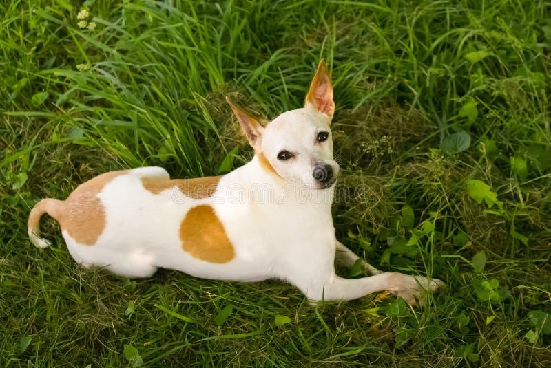 Μίγμα σκυλιών Chihuahua/τεριέ του Jack Russell στη χλόη στοκ εικόνα