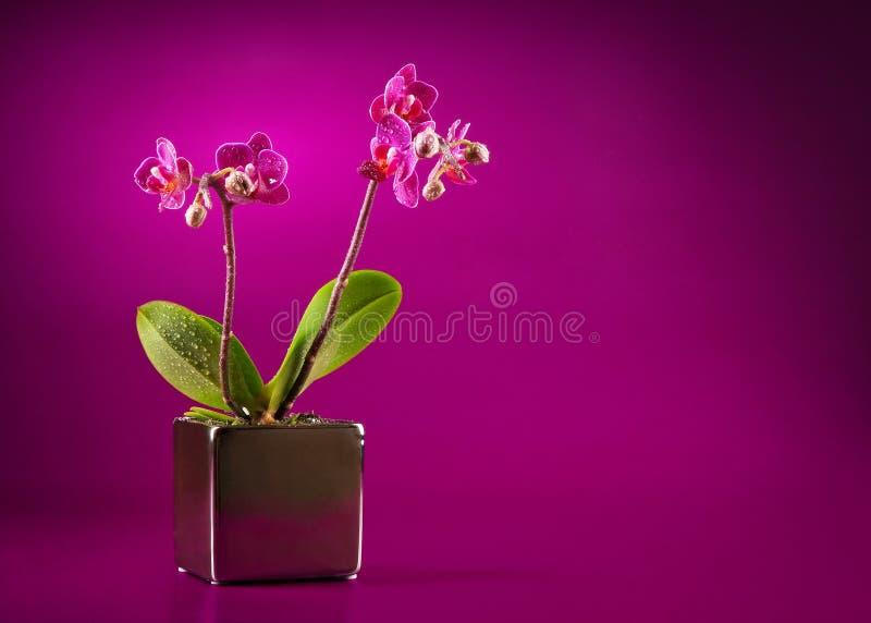 μίνι orchid στοκ εικόνες