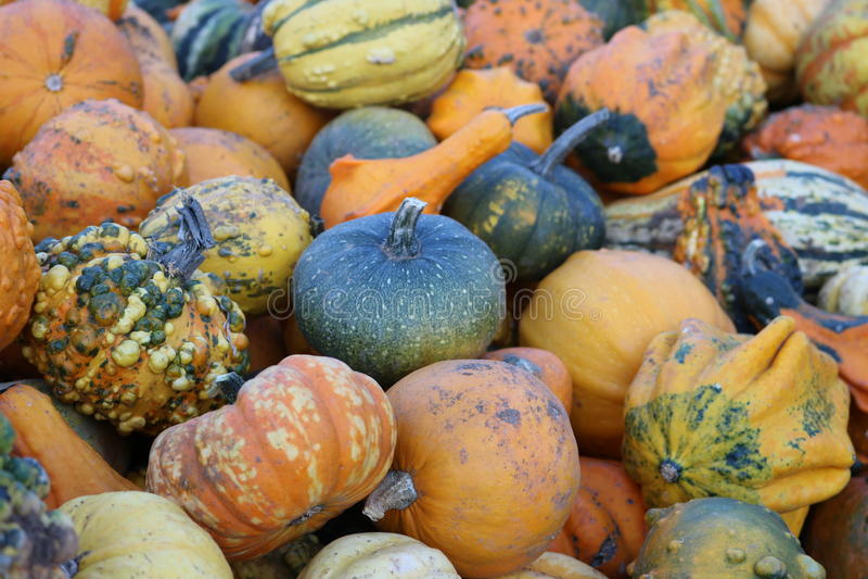 Μίνι pumpkinsfresh και φυσικός στοκ εικόνα με δικαίωμα ελεύθερης χρήσης