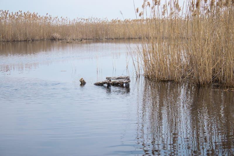 Μίσχοι των καλάμων πέρα από το νερό Χρυσή χλόη καλάμων την άνοιξη στον ήλιο κοντά στο νερό στοκ φωτογραφίες