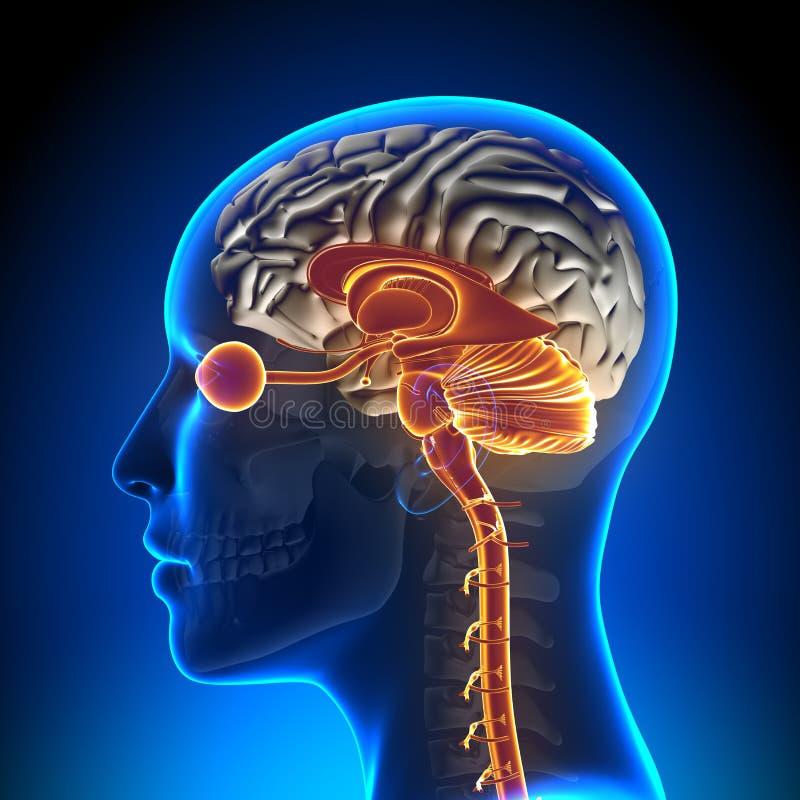 Μίσχος εγκεφάλου/παρεγκεφαλίδα/οπτικό νεύρο/θηλυκή ανατομία εγκεφάλου ελεύθερη απεικόνιση δικαιώματος