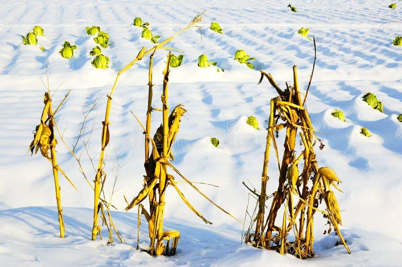 μίσχος καλαμποκιού λάχαν Στοκ Φωτογραφία