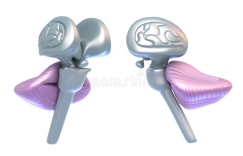 μίσχος παρεγκεφαλίδων &epsilo διανυσματική απεικόνιση