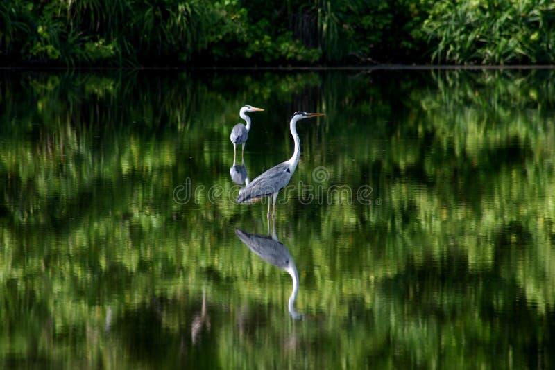 μαγγρόβιο πουλιών στοκ εικόνα