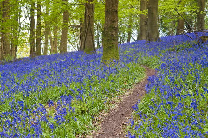 Μαγικά δασικά και άγρια λουλούδια bluebell στοκ εικόνα