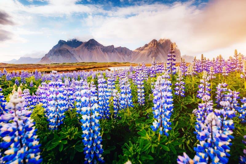 Μαγικά λουλούδια lupine που καίγονται από το φως του ήλιου στοκ εικόνες