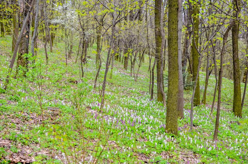 Μαγικά πράσινα δασικά και ηλιοφώτιστα άγρια λουλούδια bluebell στοκ εικόνες
