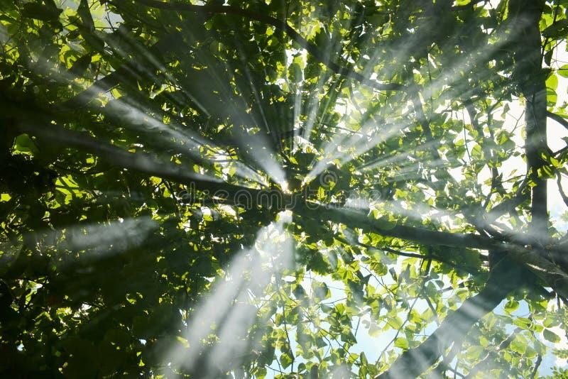 Μαγικές ακτίνες του φωτός του ήλιου που λάμπουν μέσω του πολύβλαστου φυλλώματος στο δάσος στοκ εικόνες με δικαίωμα ελεύθερης χρήσης