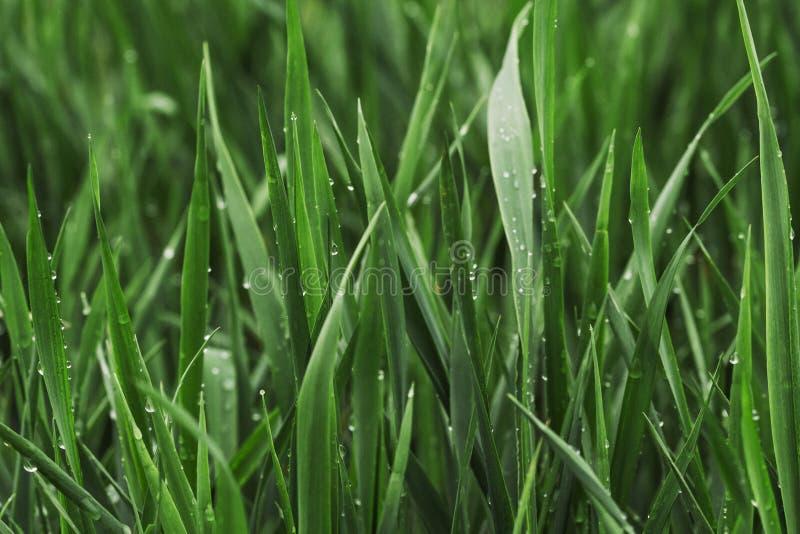 Μαγική θερινή πράσινη χλόη που καλύπτεται με την καθαρή δροσιά στοκ φωτογραφία με δικαίωμα ελεύθερης χρήσης