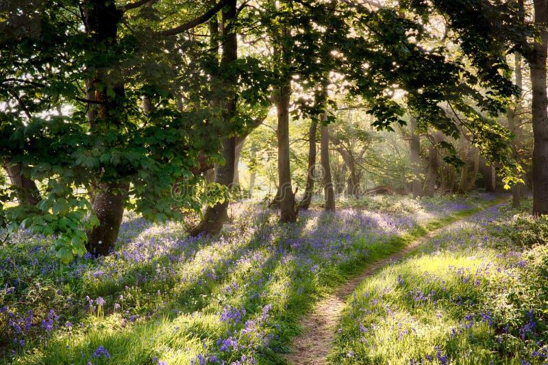 Μαγική πορεία μέσω του δάσους bluebell με την ανατολή ξημερωμάτων στοκ εικόνα
