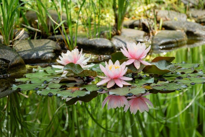 Μαγικός της φύσης τους κρίνους με τρία ρόδινο νερό ή ο λωτός ανθίζει Marliacea Rosea μετά από τη βροχή Nympheas με τις πτώσεις νε στοκ φωτογραφία με δικαίωμα ελεύθερης χρήσης