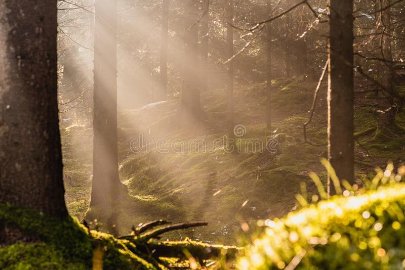 Μαγικό βαθύ ομιχλώδες Forest Park φθινοπώρου Όμορφο παλαιό δάσος της Misty σκηνής με τις ακτίνες, τις σκιές και την ομίχλη ήλιων στοκ εικόνες