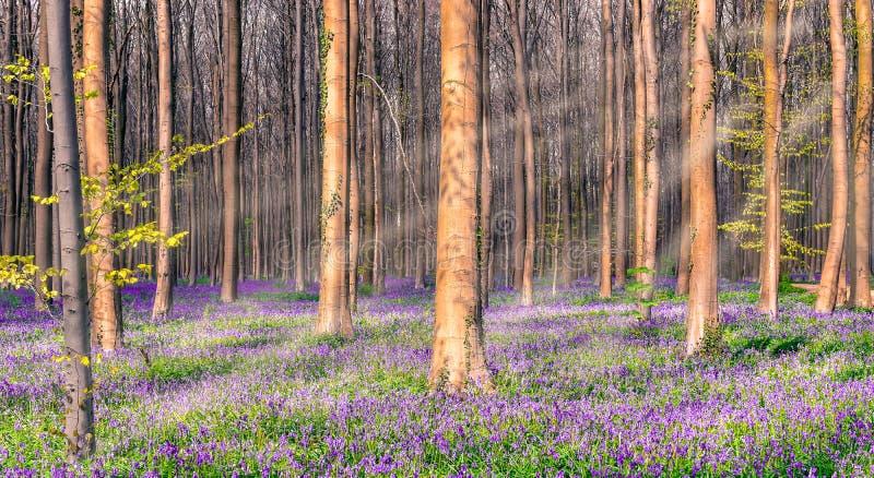 Μαγικό δάσος bluebells στο Βέλγιο στοκ εικόνες με δικαίωμα ελεύθερης χρήσης