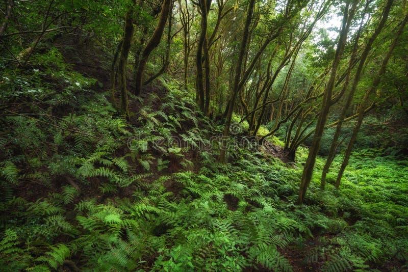Μαγικό τροπικό δάσος Laurisilva στα βουνά Anaga, Tenerife, Κανάρια νησιά, Ισπανία στοκ εικόνες