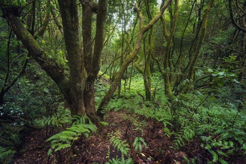 Μαγικό τροπικό δάσος Laurisilva στα βουνά Anaga, Tenerife, Κανάρια νησιά, Ισπανία στοκ φωτογραφία με δικαίωμα ελεύθερης χρήσης