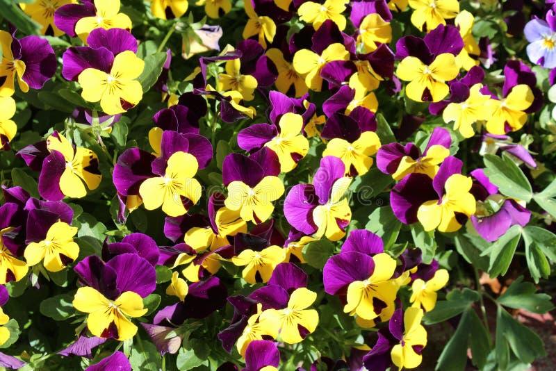 Μαζευμένο Flowerbed κίτρινου και πορφυρού Violas στοκ εικόνα με δικαίωμα ελεύθερης χρήσης