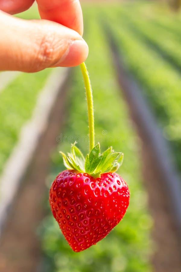 Μαζεψτε με το χέρι έναν κλάδο της φράουλας στοκ εικόνες