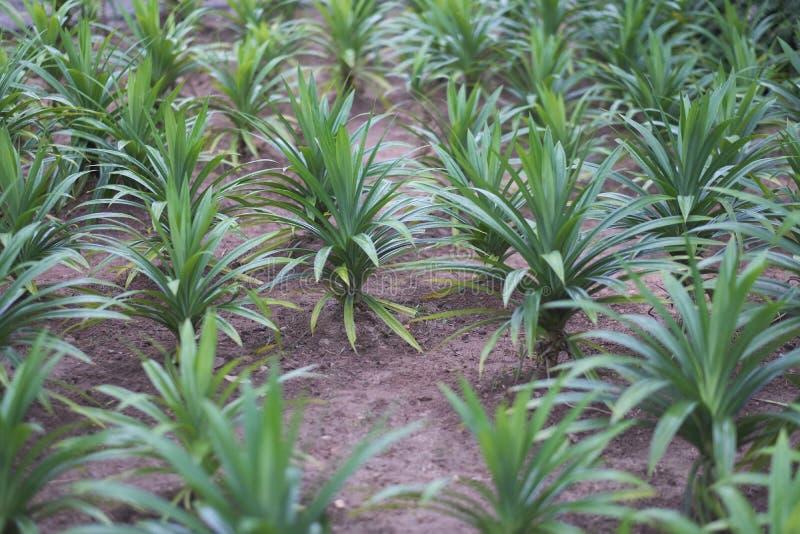 Μακριά αιχμηρά φύλλα των χλοωδών θάμνων ανανά στοκ φωτογραφίες με δικαίωμα ελεύθερης χρήσης