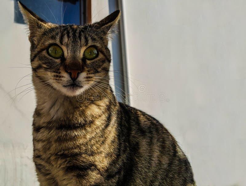 μακριά γάτα λαιμών που κοιτάζει επίμονα σε κάτι στοκ εικόνες