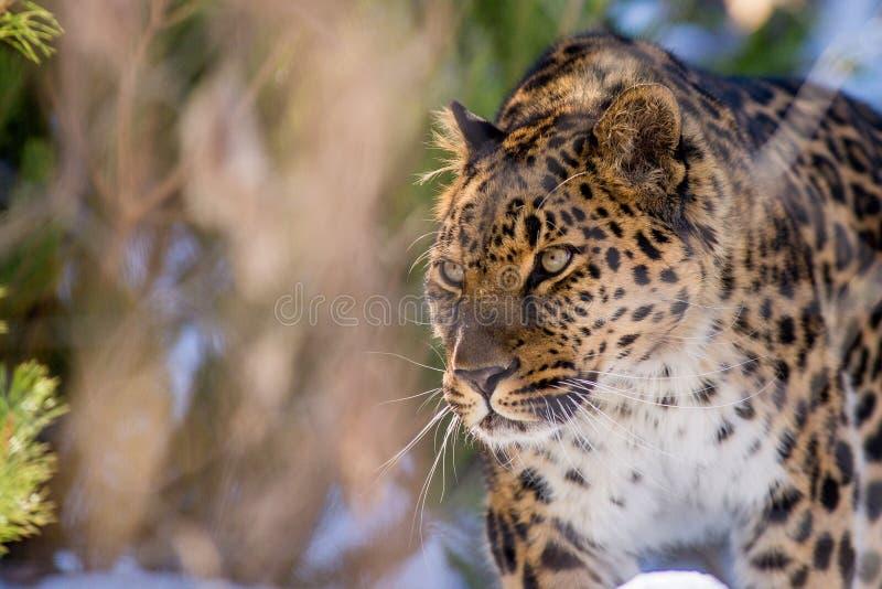 Μακριά - η ανατολική λεοπάρδαλη το χειμώνα το αρπακτικό ζώο είναι ένα επικίνδυνο ζώο στοκ εικόνες