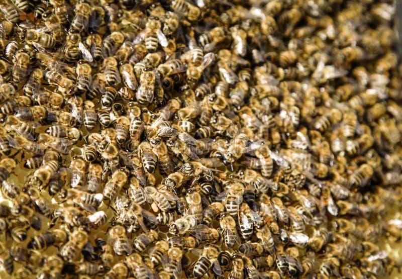 μακριά η οικογενειακή μύγα κατοικιών κλάδων μελισσών μελισσών που διαμορφώνεται κρεμά τα έντομα νέο χρονικό δέντρο σμήνων μερών q στοκ εικόνα