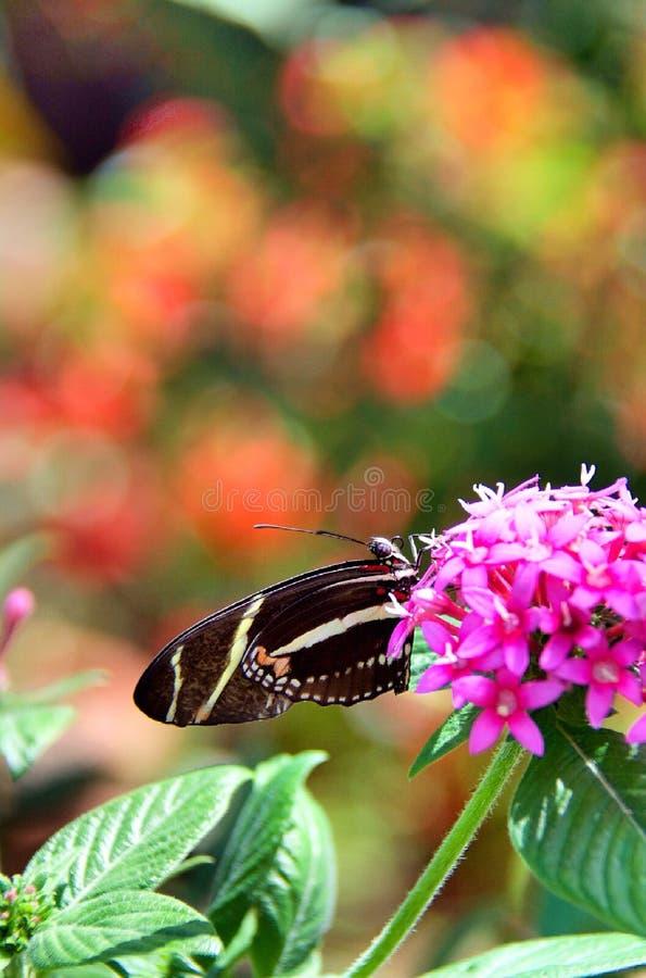 Μακριά πεταλούδα φτερών στοκ φωτογραφίες με δικαίωμα ελεύθερης χρήσης