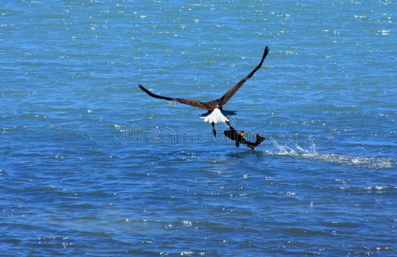 μακριά φαλακρό μεγάλο πέταγμα ψαριών αετών στοκ φωτογραφίες με δικαίωμα ελεύθερης χρήσης