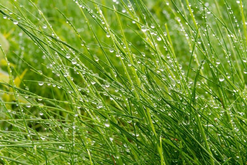 Μακριά χλόη με τις χάντρες της βροχής στοκ εικόνα με δικαίωμα ελεύθερης χρήσης