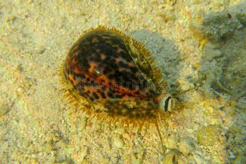 Μακρογραφία του Tiger Cowrie σε ρηχά κρυστάλλινα καθαρά νερά στην Ερυθρά Θάλασσα Όμορφη Κυπρέα Τίγρης Θαλάσσια σαλιγκάρια στοκ εικόνες με δικαίωμα ελεύθερης χρήσης