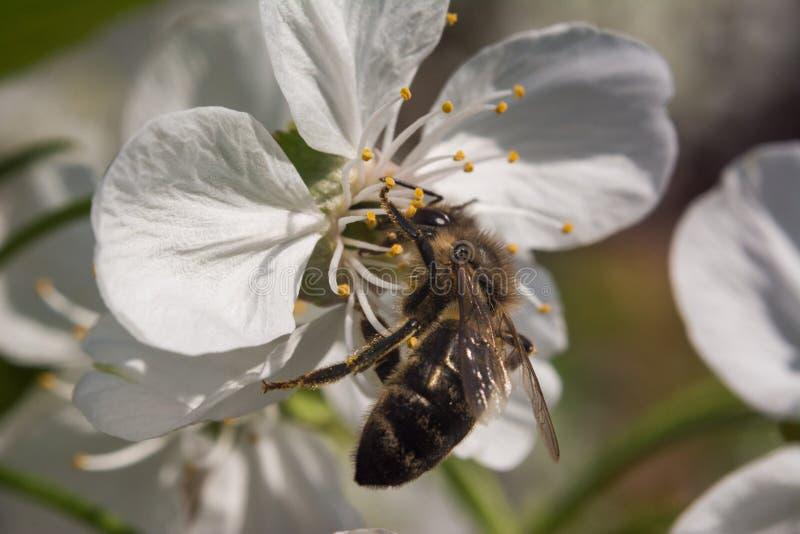 Μακροεντολή ανθών κερασιών με τη μέλισσα που συλλέγει το μέλι στοκ φωτογραφία με δικαίωμα ελεύθερης χρήσης