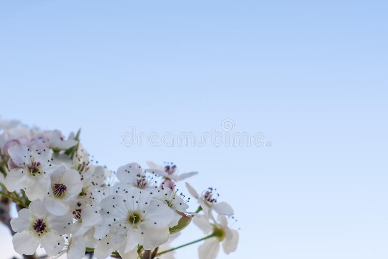 Μακροεντολή ανθών κερασιών στοκ φωτογραφία με δικαίωμα ελεύθερης χρήσης
