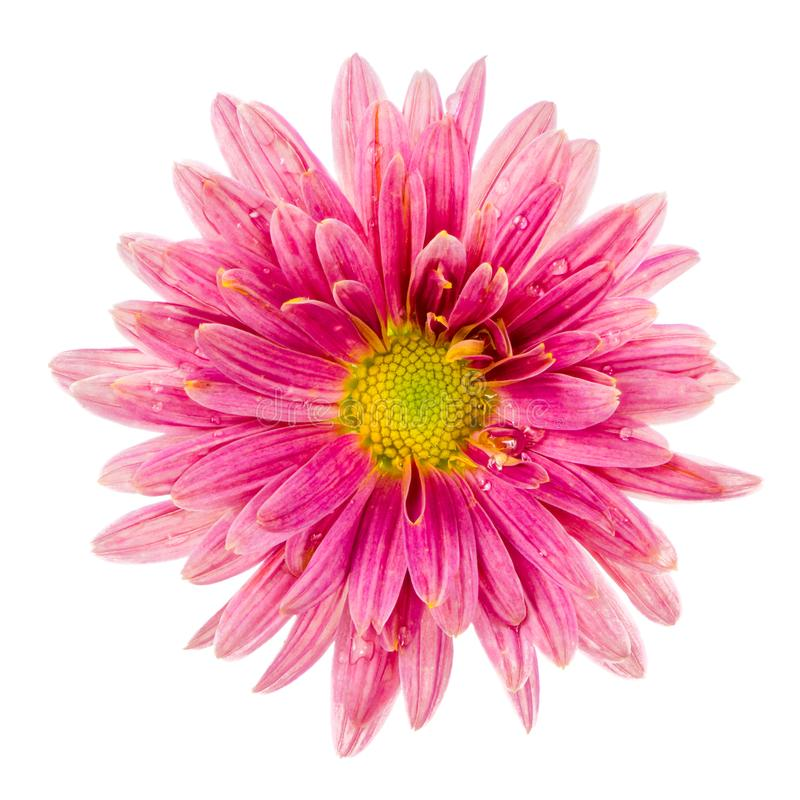 Μακροεντολή ενός απομονωμένου ρόδινου άνθους λουλουδιών αστέρων στοκ εικόνες