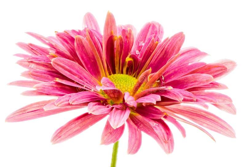 Μακροεντολή ενός απομονωμένου ρόδινου άνθους λουλουδιών αστέρων στοκ φωτογραφία με δικαίωμα ελεύθερης χρήσης