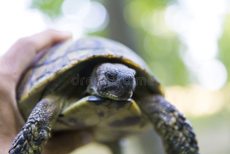 Μακροεντολή ενός ατόμου που κρατά μια χελώνα στοκ εικόνες
