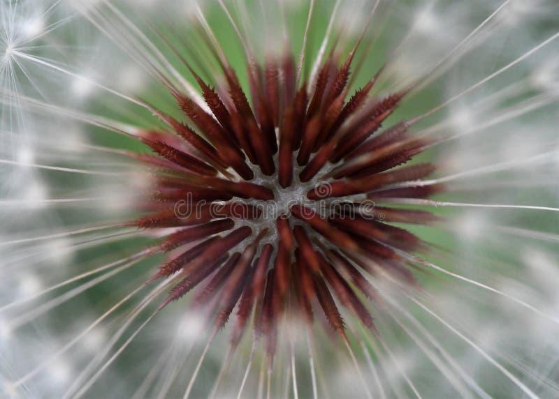 Μακροεντολή ενός κεφαλιού πικραλίδων στοκ εικόνα με δικαίωμα ελεύθερης χρήσης