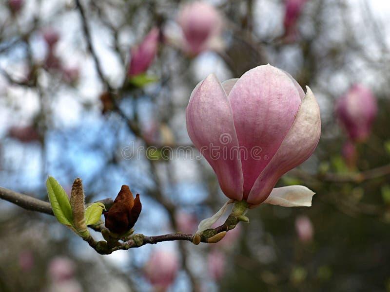 Μακροεντολή ενός ρόδινου ανθίζοντας λουλουδιού magnolia στοκ εικόνες