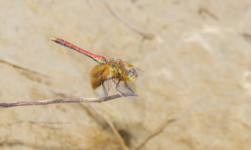 Μακροεντολή ενός ταινία-φτερωτού semicinctum Sympetrum λιβελλουλών Meadowhawk στοκ εικόνες με δικαίωμα ελεύθερης χρήσης