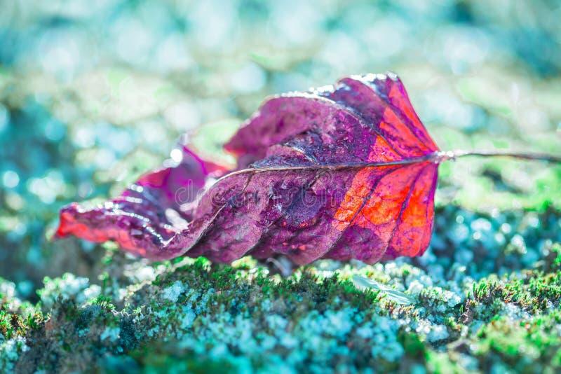 Μακροεντολή - κόκκινο φύλλο στο παγωμένο βρύο, χειμερινός καιρός στοκ εικόνες με δικαίωμα ελεύθερης χρήσης