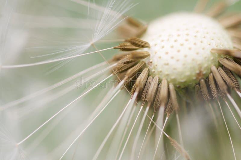 μακροεντολή πικραλίδων στοκ εικόνα